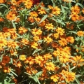 Zinnia- Star Orange