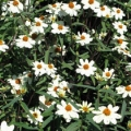 Zinnia- Star White