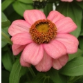 Zinnia- Zahara Coral Pink