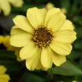 Zinnia- Zahara Yellow