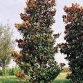 D.D. Blanchard Magnolia