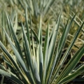 Adams\'s Needle Yucca