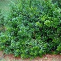 Dwarf Buford Holly