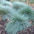 Glauca Grass