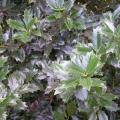 Oak Leaf Holly