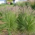 Muhly Grass- Pink