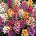 African Corn Lily - Hybrids