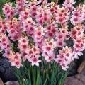 African Corn Lily - Pink