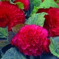 Begonia- Ruffled Rose