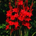 Bulger Flower- Wastonia Red