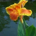 Canna - Color Clown