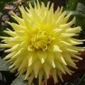 Dahlia Cactus - Yellow Star