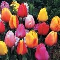 Darwin Tulip - Mix