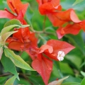 Bougainvillea - Flame
