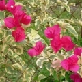 Bougainvillea - Raspberry Ice