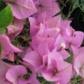 Bougainvillea - Vera Light Pink