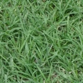 Bermudagrass, Common